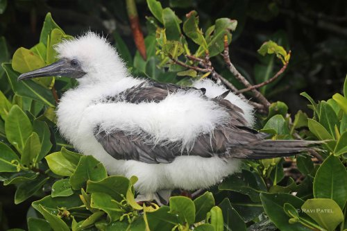 Galapagos Birds -  A Booby Baby Chick