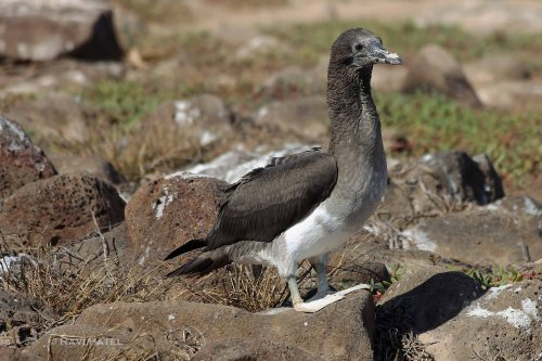 Galapagos Birds - Blue-footed Booby Baby