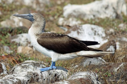 Galapagos Birds - Blue-footed Booby