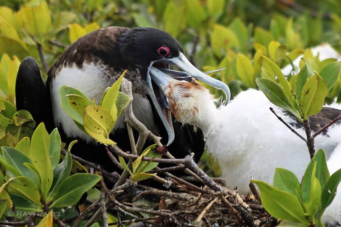 Galapagos Birds - Frigatebird Baby Reaching In Sideways
