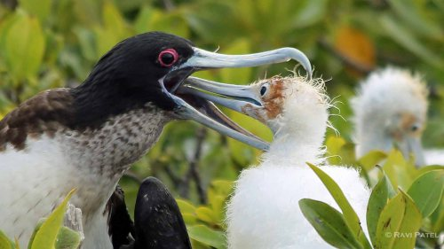 Galapagos Birds -  Frigatebird Baby Reaching In