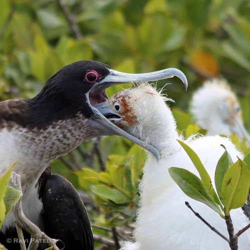 Galapagos Birds -  Frigatebird Baby Reaching Inside