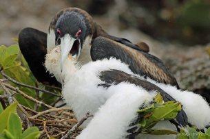 Galapagos Birds - Frigatebird Baby Reaching Out Deep