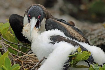 Galapagos Birds - Frigatebird Baby Reaching Out Deep