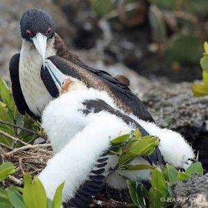 Galapagos Birds -  Frigatebird Baby Reaching Out