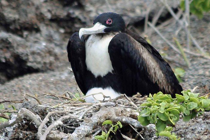 Galapagos Birds - Frigatebird Protecting the Nest