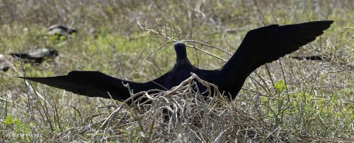 Galapagos Birds -  Frigatebird Spreading Its Wings