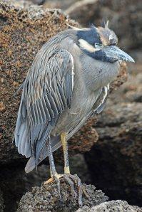 Galapagos BIrds - Heron