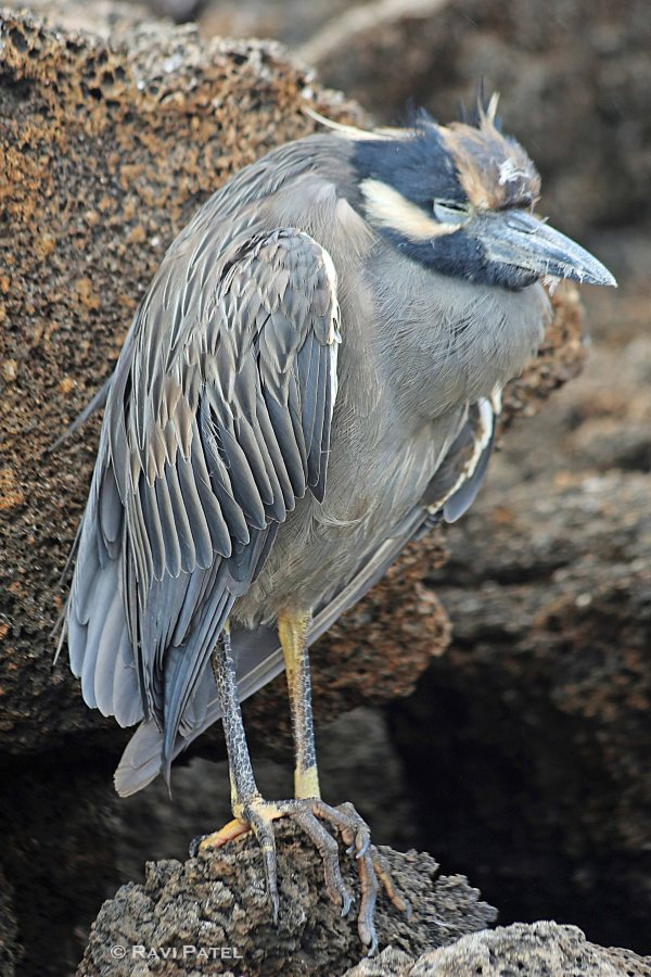 Galapagos Birds - Galapagos (Lava) Heron