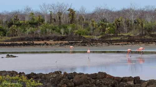 Galapagos Birds - Greater Flamingos