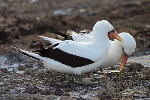 Galapagos Birds - Nazca Boobies