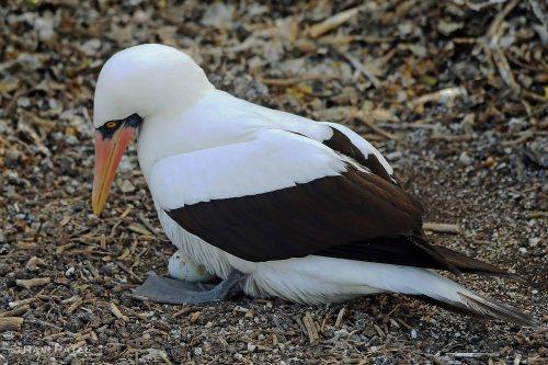 Galapagos Birds - Nazca Booby  Protecting her Egg