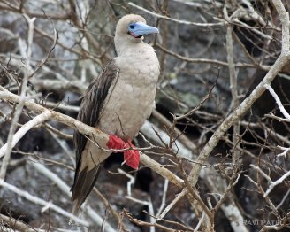 Galapagos Birds - Red-footed Booby with Brown Morph
