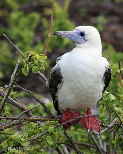 Galapagos Birds - Red-footed Booby with White Morph