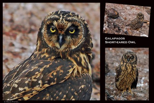 Galapagos Birds - Short-eared Owl