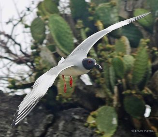 Galapagos Birds - Swallow-tailed Gull in Flight