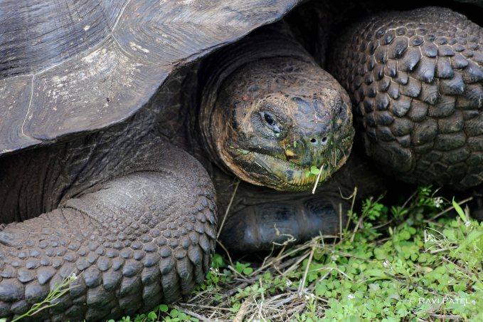 Galapagos Tortoise Close-up