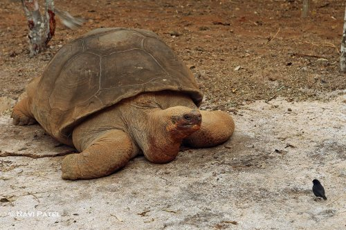 Galapagos Tortoise-Finch Encounter