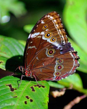 Ecuador Amazon - Achilles Blue Morpho Butterfly