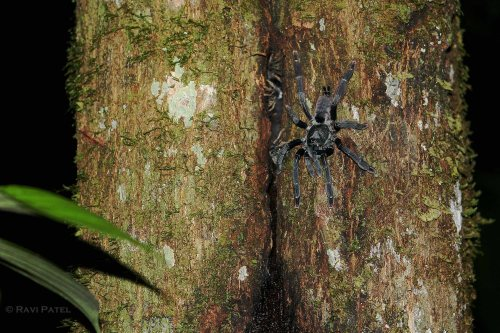 Ecuador Amazon - Black Tarantulas