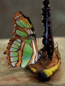 Ecuador Amazon - Butterfly Feeding on a Banana