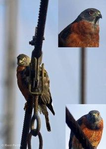 Ecuador Amazon - Double-toothed Kite