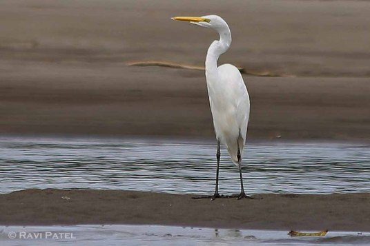 Ecuador Amazon - Great White Egret on Napo River