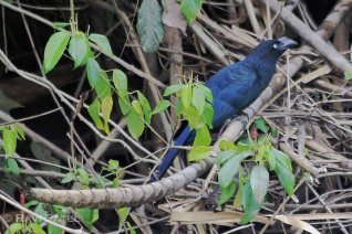 Ecuador Amazon - Greater Ani on a Tree