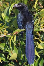 Ecuador Amazon - Greater Ani