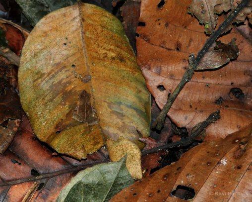 Ecuador Amazon - Hidden Frog