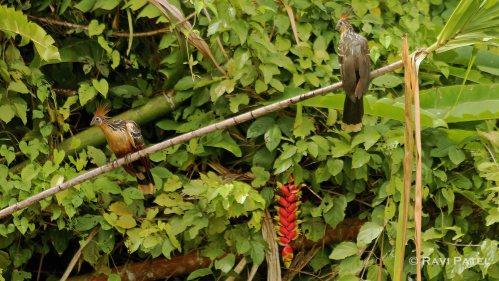Ecuador Amazon - Hoatzin Pair