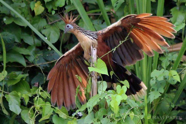 Ecuador Amazon - Hoatzin Spreading its Wings