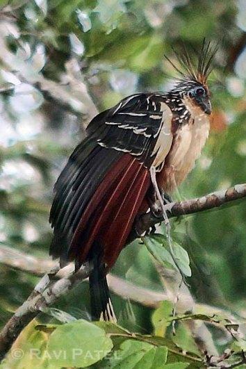 Ecuador Amazon - Hoatzin