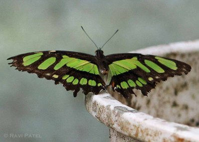 Ecuador Amazon - Malachite Butterfly
