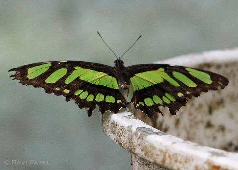 Ecuador Amazon - Malachite Butterfly