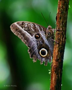 Ecuador Amazon - Oileus Owl Butterfly