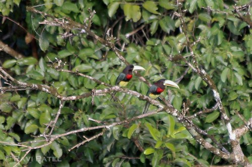 Ecuador Amazon - Toucans