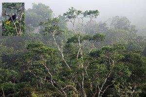 Ecuador Amazon - Yellow-rumped Cacique Far Away