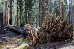 Roots of a Sequoia