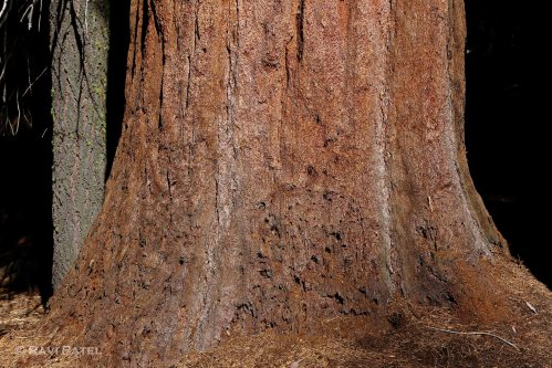 Trunk of a Sequoia