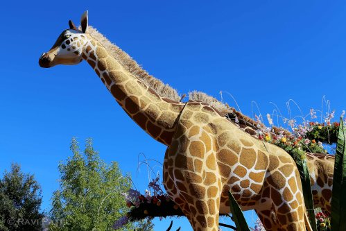 Rose Parade - Giraffe