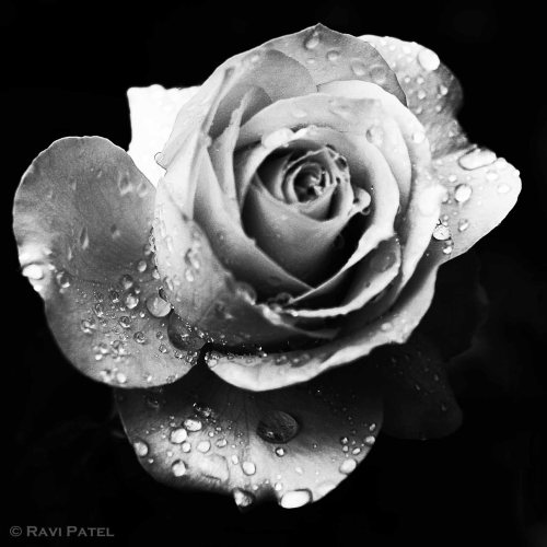 Tearing Rose in Monochrome