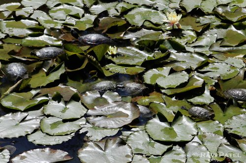 Turtles on Waterlilies