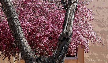 New Mexico - Blossoms in Santa Fe