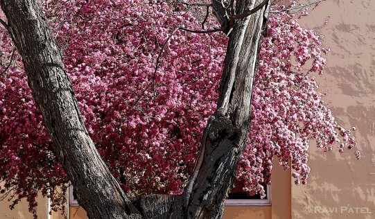 New Mexico - Blossoms in Santa Fe