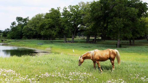 Texas - Grazing Horse with Egret