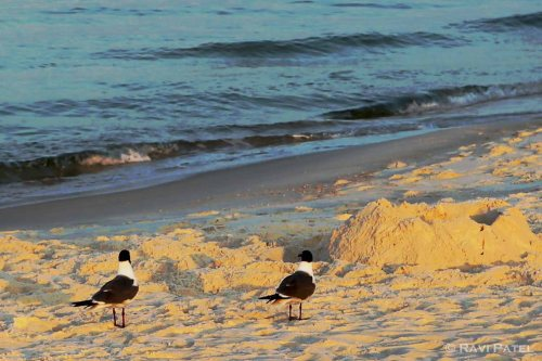 Florida - Panama City Beach - Birds Enjoying the Sunrise