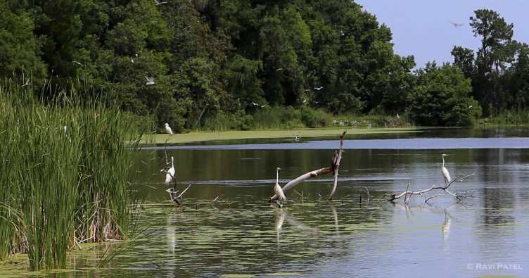 A Colony of Egrets