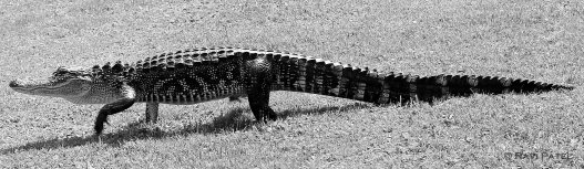 A Gator in Black and White
