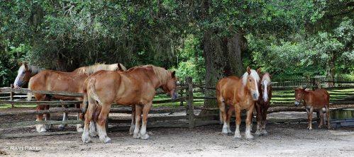A Mule Among Horses